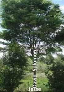 Bilden Jesaja använde av dynastin som ett träd